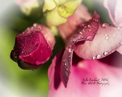 Morning Dew ( julev69  1,850,000+ Views- THANK YOU!) Tags: morning summer flower nature wet dewdrops bright july vivid morningdew morningsun julev69 julieeverhart