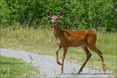 P1100200 White-tailed Deer (felicitydawn) Tags: wildlife deer whitetailed