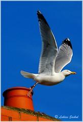 Fly Now I (lukiassaikul) Tags: wildlifephotography wildanimals wildbirds largebirds seabirds urbanwildlife seagull herringgalls fly flight sky bluesky chimney chimneypot