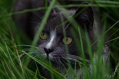 DSC_8047-3 (Kopiowanie) (Aga'Shots) Tags: pet cats macro cute eye nature grass animal cat kitty cateye