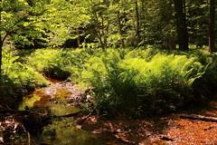 McKenzie King Estate 10 (DrewOtt) Tags: canada nature water forest landscape outdoors stream quebec gatineau ferns gatineaupark mckenziekingestate parcdelagatineau waterfalltrail