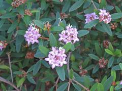 Phebalium nottii 2 (barryaceae) Tags: new gardens wales botanical coast harbour south north australia regional coffs the