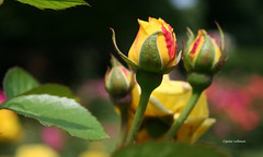 05-060627 Hannover Stadtpark 008 (hemingwayfoto) Tags: blhen blte blume garten park pflanze rose stadtpark