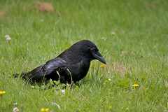 Practice Bath 002 (Stirrett6) Tags: bird crow northwestern corvid jerichobeachpark