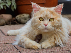 I want my own pet, mum ! (FocusPocus Photography) Tags: pet animal cat chat linus gato katze haustier kater tier mousie maus