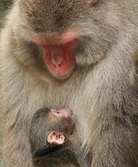 Japanese macaque Artis JN6A3418 (j.a.kok) Tags: artis macaque japanesemacaque makaak japansemakaak