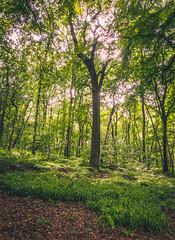 Sunstar (Falcdragon) Tags: trees sunlight tree forest outdoors woods walks belgium weekend be gps lige sunstar rgionwallonne sonyrx100mk128100mmf1849