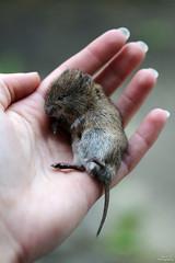 Campagnol (tu par le chat..) (Mariie76) Tags: chat mort animaux petit cadeau mignon campagnol rongeur commun proie arvalis microtus
