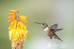 IMG_8414_edit_resized_wm (Lisa Snow Photography) Tags: hummingbird