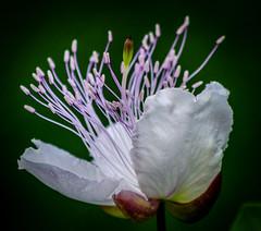 fiore di cappero (caper flower) (Angelo Petrozza) Tags: cappero flower fiore caper stem stami pentax macro