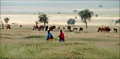 Maasai with cows (tor-falke) Tags: africa flickr african sony ngc tribes blackpeople afrika ethnic maasai arusha afrique ethnology tansania africanpeople ethnie sonyalpha africanculture ethnicgroup africalandscape naturvölker maasaitribes torfalke flickrtorfalke