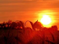 hre im Sonnenlicht (Wunderlich, Olga) Tags: nature landscape licht natur wolken gelb landschaft sonne deu acker getreide halme hre