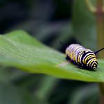 Monarch caterpillar on common milkweed in Minnesota thumbnail