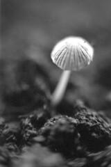 Analog mushroom (Maxime Gobet) Tags: blackandwhite macro film mushroom vertical analog 35mm canon lens eos 50mm 4 f1 iso 100 300 maxime 100asa argentique foma pellicule fomapan gobet
