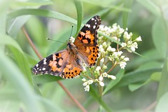 Painted Lady on White flowers (adamsdale616) Tags: new flowers autumn light summer sky usa lake flower color macro nature water beauty wisconsin garden landscape golden spring pond nikon midwest colorful outdoor dusk butterflies northern d7200