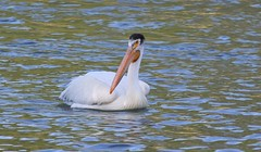 American White Pelican  1395 (robenglish64) Tags: americanwhitepelican