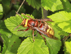 Hornet (Prank F) Tags: macro nature closeup insect wasp wildlife hornet wildlifetrust glapthorncowpastures northantsuk