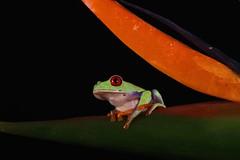 Red-eyed Tree Frog (6100) (Mark Abel) Tags: wildlife amphibians redeyedtreefrog 7d markabel