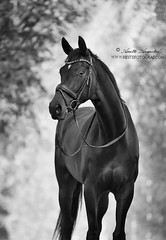 Don (Hestefotograf.com) Tags: summer horse white norway caballo cheval cavalo pferd stallion whitehorse equine equus paard purarazaespanola hestefotograf