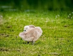 Sleepy Cygnet. (Tony Brierton) Tags: bird swan pond cygnet chick skerries codublin 18616