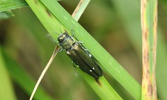 4140 Agrilus biguttatus (jon. moore) Tags: warwickshire coleoptera buprestidae prioryfields agrilusbiguttatus oakjewelbeetle