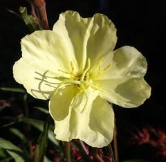 """Oenothera """"Lemon Sunset"""" (Kniphofia) Tags: flower yellow oenothera sundrops perennial lemonsunset"""