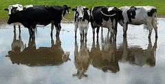 2016-06-23 cow party in a flooded meadow (april-mo) Tags: cow vache reflection reflet puddle meadow flooded floodedmeadow prairieinonde nord france villerscampeau distortions animal farmanimal