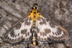 Small magpie moth (Anania hortulata) (Ian Redding) Tags: uk white black nature animal yellow fauna insect european nocturnal wildlife moth lepidoptera micro pyralidae pyraustinae british invertebrate arthropod smallmagpie crambidae grassmoth ananiahortulata