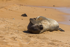 monkseal2Jun17-16 (divindk) Tags: hawaii hawaiianislands kauai neomonachusschauinslandi beach cute endangeredspecies hawaiianmonkseal lazy marine marinemammal monkseal seal sunshine whiskers