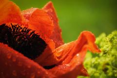 poppy love (morag.darby) Tags: flower nature fleur digital garden nikon dof natural poppy nikkor raindrop flore d3300