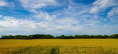 Yellow (aT0Mx) Tags: blue summer sky white ontario canada tree green field yellow clouds landscape brighton pentax wheat sunny minimal rothko minimalism pentaxlens pentaxphotography