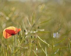 poppy II (Frau Koriander) Tags: lighting flowers light red flower rot nature field germany deutschland glow dof hessen blossom bokeh natur blossoms feld poppy poppies blume blüte darmstadt mohn rapsfeld kranichstein mohnblüte mohnblüten nikond300s