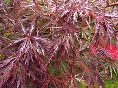 (-Michik-) Tags:                kyoto kyotofu momiji red leaves leaf uji nature japanese