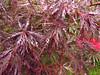 紅葉 (-Michik-) Tags: 三室戸寺 三室戸 寺 宇治市 宇治 京都府 京都 紅葉 赤い 赤 もみじ モミジ 自然 木の葉 葉 kyoto kyotofu momiji red leaves leaf uji nature japanese