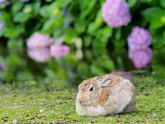 B6250750 (VANILLASKY0607) Tags: rabbit bunny bunnies nature animal japan photo wildlife wildanimal hydrangea rabbits rabbitisland wildrabbit okunoshima