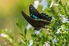 PGC_8543-20151013 (C&P_Pics) Tags: butterfly southafrica lodge za scenes limpopo pgc insectsandspiders tzaneen southafrica2015 bramasolelodge mtsheiba