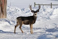 Big Buck (cebuphotographer) Tags: utah buck muledeer coalville nikoncapturenx nikond300 nikon200500mmf56