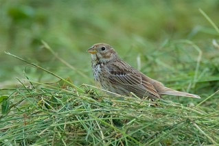 Corn Bunting (Explored 07-07-16)