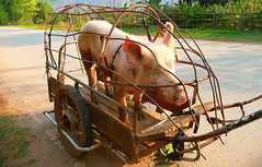 Take Away Bacon (Eye of Brice Retailleau) Tags: road travel animal animals fauna composition pig asia angle outdoor earth details vietnam trailer extrieur caravaning animaladdiction