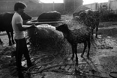 Oh. . .Thanks Buddy (Rk Rao) Tags: blackandwhite india bathing morningglory lucknow uttarpradesh ruralindia morningshot
