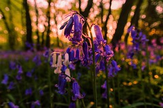 Sunset Bluebells  ( Explore ) (Jez22) Tags: blue wild summer copyright white plant abstract flower color green english nature floral beautiful beauty closeup bluebells woodland season spring stem flora colorful purple natural bright head background violet fresh petal lilac bloom delicate common botany wildflower campanula bluebell isolated freshness springtime blooming harebell yabbadabbadoo hyacinthoidesnonscripta jeremysage