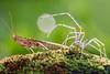 IMG_0352 (thienbs) Tags: macro mantis spider thienbs