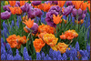 Mother Nature's Coloring Book (Photographic Poetry) Tags: flowers nature tulips may bloom albany washingtonpark flowerthequietbeauty