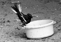 Summer Thirst, save the birds! (McGun) Tags: summer bird water robin may heat magpie chennai thirst kottivakkam