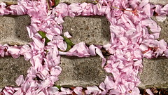 Blossom (manchesterblue59) Tags: pink closeup digital cherry leaf pattern blossom path petal fujifilm