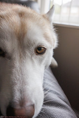 Husky eyes (Captain Red Beard) Tags: dog pet eyes husky sony sigma huskies stuff1 nex 19mm 5n emount