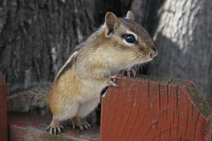 Petit suisse -- Little chipmunk (Gilles Gonthier) Tags: canada nature animal mammal rodent chipmunk qubec rodentia mammifre tamia tamiasstriatus sciuridae rongeur easternchipmunk petitsuisse canonpowershotg7 tamiaray gillesgonthier 052013 ggg7152522013