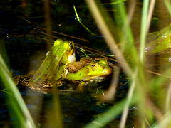Teichfrsche (acmelucky777) Tags: nature animal germany deutschland tiere wildlife natur nrw frosch tier heide westfalen nordrhein wasserfrosch 22013 teichfrosch teveren tierportrait teverener p103053