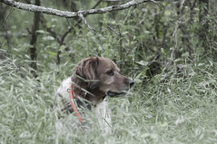 20130514 (Seluma) Tags: dog may bandit 2013 seluma frenchbrittany seluma may2013 3652013 3652013ontheroadagain 20130514