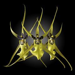 Brassia Trio (Pixel Fusion) Tags: orchid flower nature flora nikon ngc npc brassia d600 flowerthequietbeauty